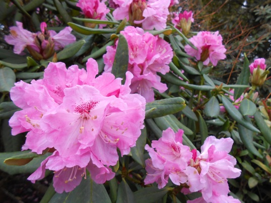 Winter Rhododendrons