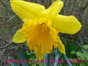 daffodil03