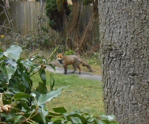 foxafternoonstroll