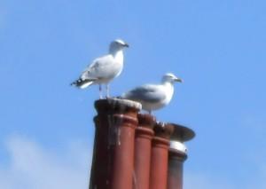 SeagullsOnChimneypot