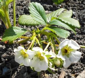 FloweringStrawberryPlant