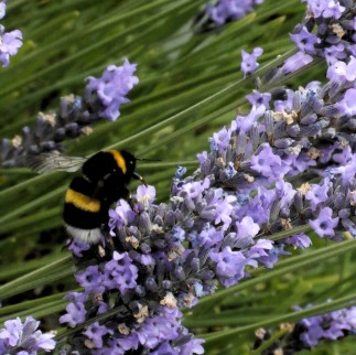 Bee&Lavender