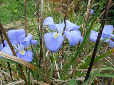 Winter Irises