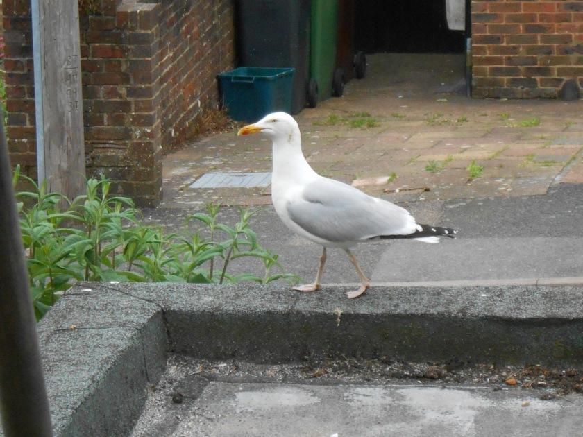 Seagull with Attitude