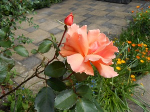 Apricot Rose 02