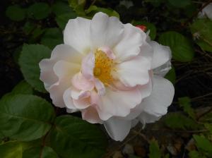 White Rose 02