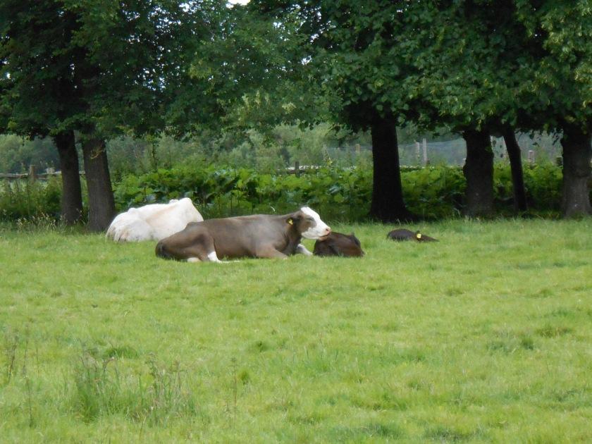 CattleSherringtonManor