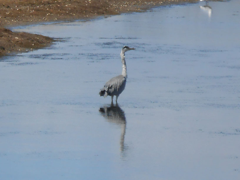 Grey Heron at Cuckmere Haven