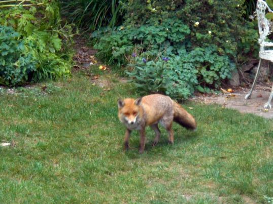 Mr Fox Visiting