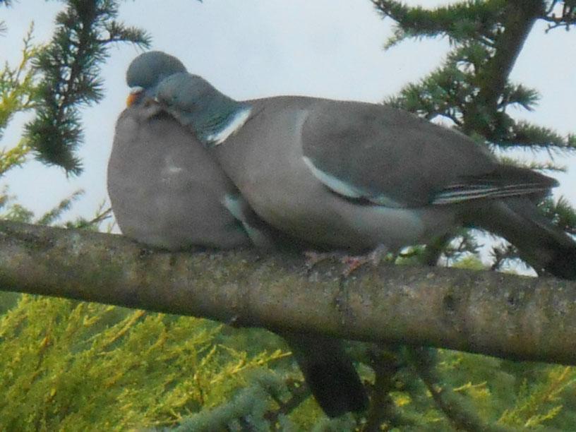 Canoodling Wood Pigeons