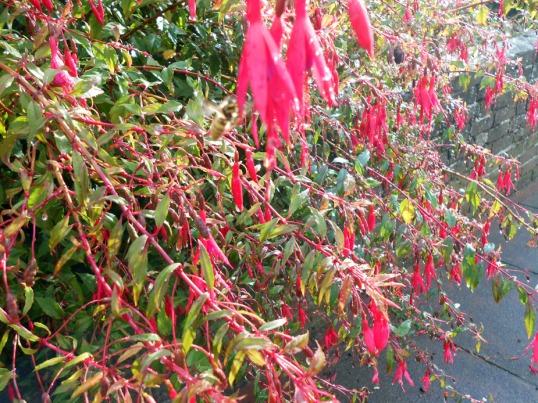 Fuchsia in Rain