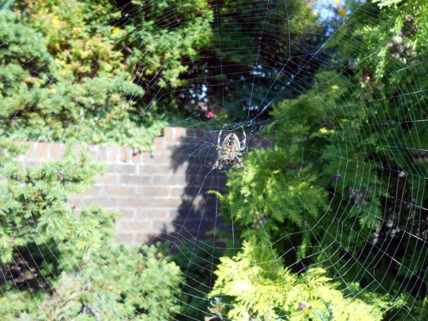 Garden Orb Spider Web