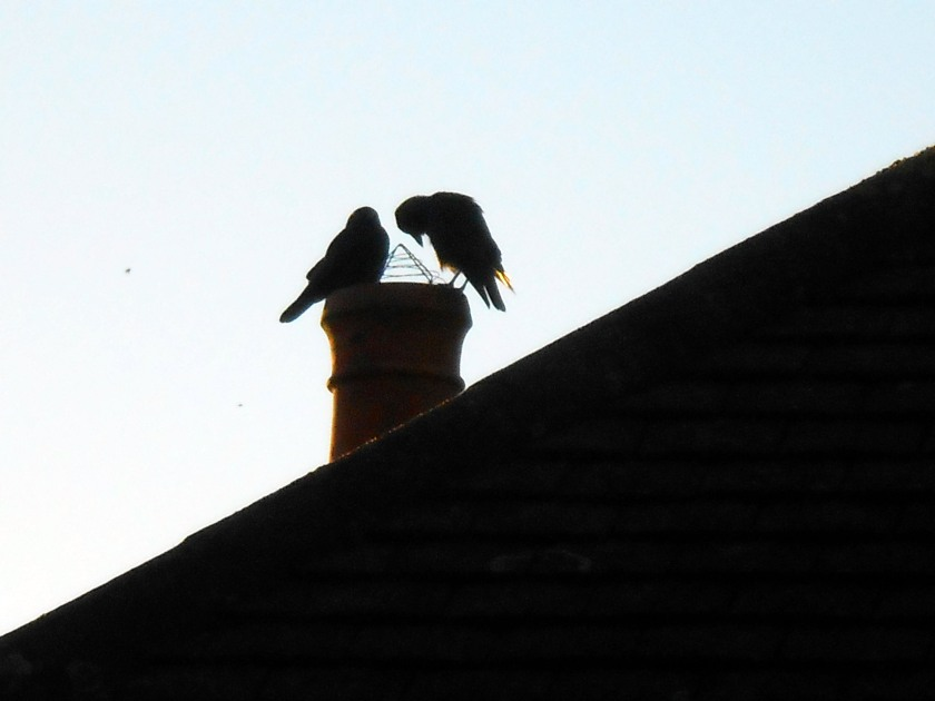 Jackdaws on Roof