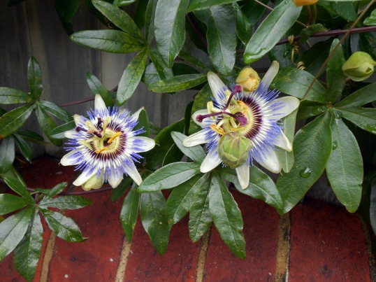 Passion Flowers (November)
