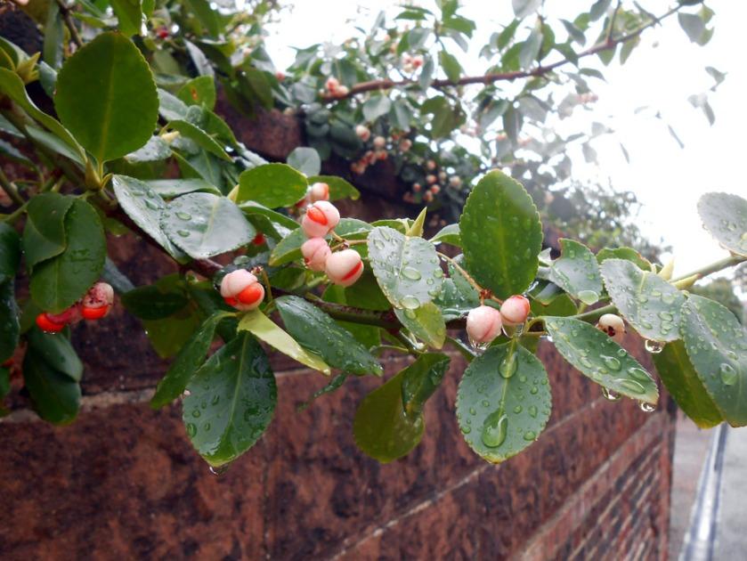 Raindrops & Camellia Buds
