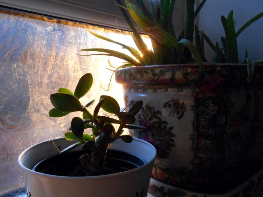 Succulents Capture Sunrise