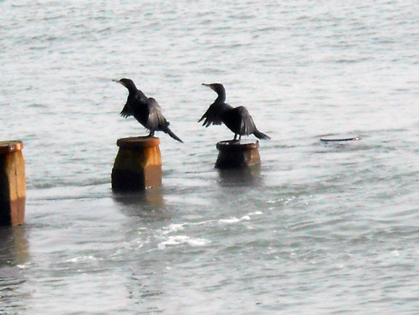 Cormorants contemplating take-off