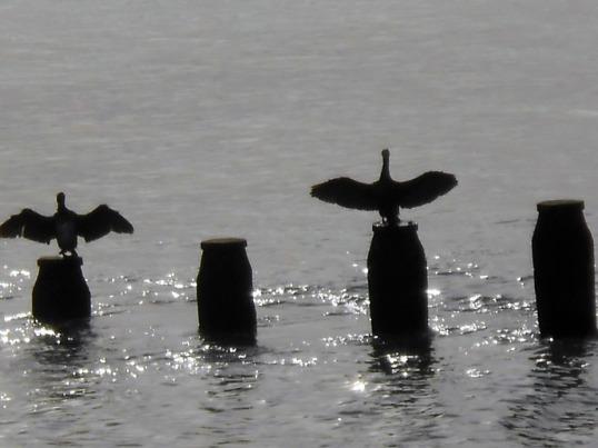Cormorants take-off