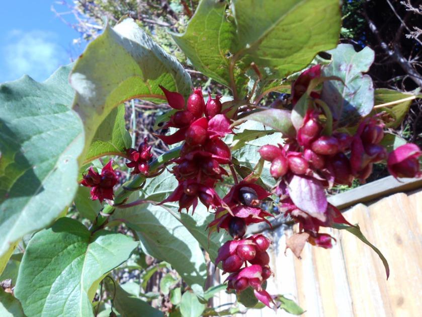 Nutmeg (leycesteria formosa)