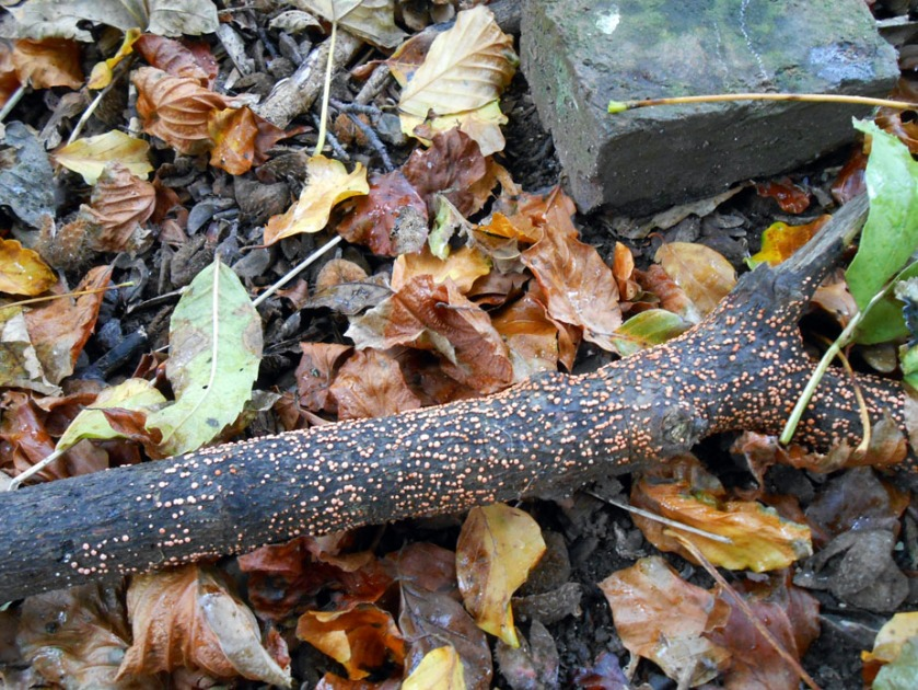 Rust-coloured fungus