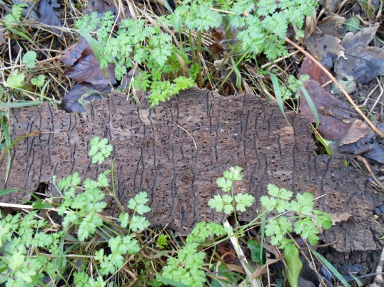 Underside of tree-bark