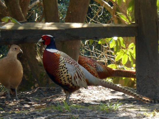 Cock and Hen Pheasants