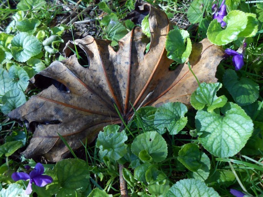 Fatsia leaf and violets