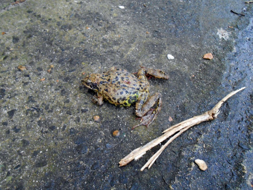 Frog on Concrete