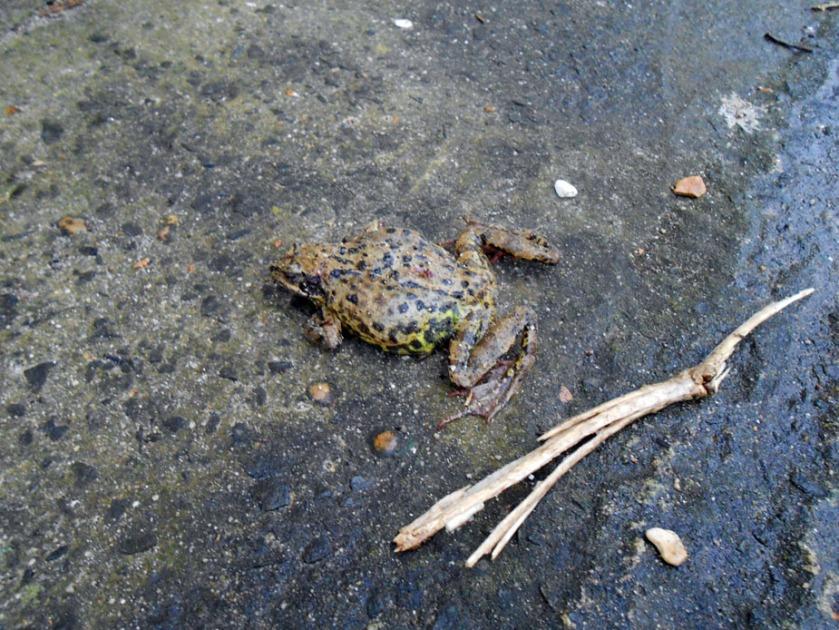 Frog on Concrete