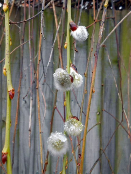 Pussy Willows and  Raindrops