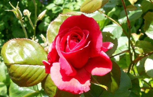 Red Rose 01