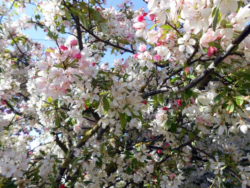 April blossom 01