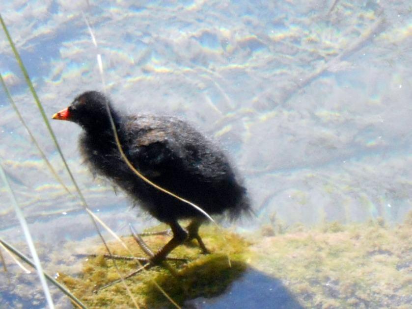 Moorhen Chick #01