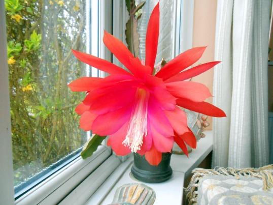 Epiphyllum Cactus Flower