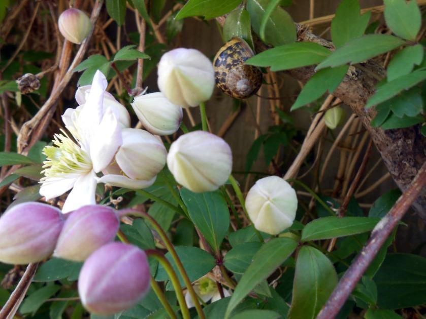 Clematis & Snail