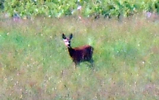 Doe in Meadow