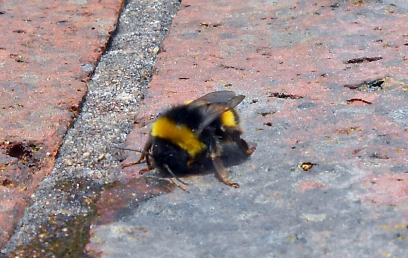 Bumble Bee drinking sugar water