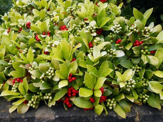 laurel berries