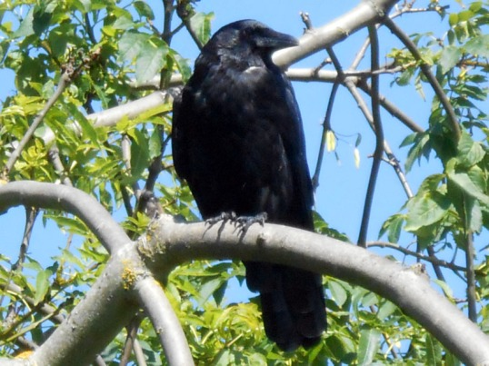Crow in Treetop