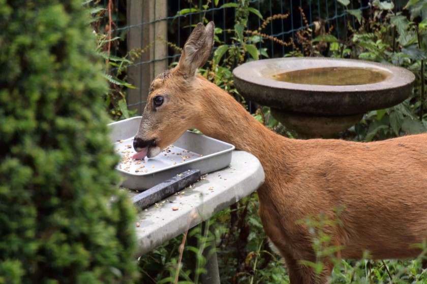 Roe Deer Feasts At Birdtable