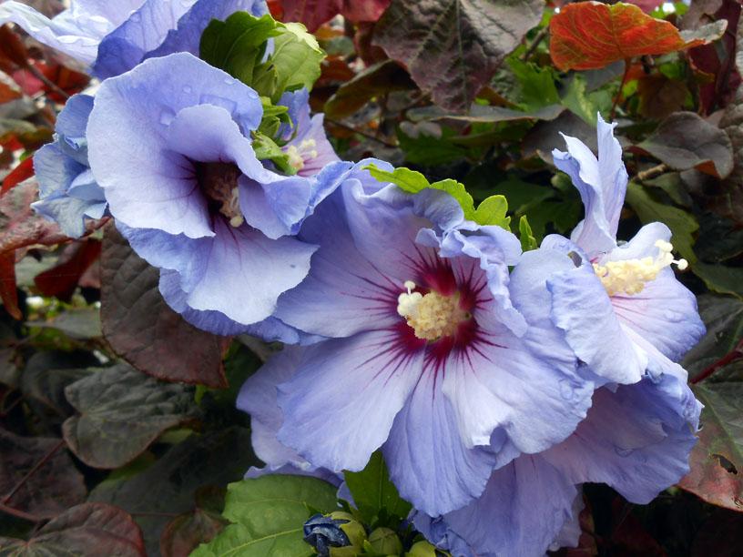 Hibiscus (Denim Revolution)