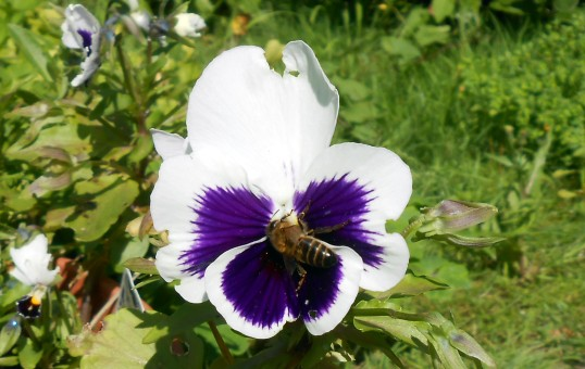 Honeybee Harvests Pansy Pollen