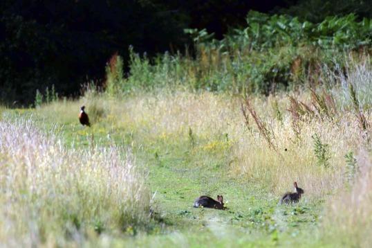 Pheasant & Rabbits