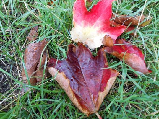 Virginia Creeper leaves on Grass