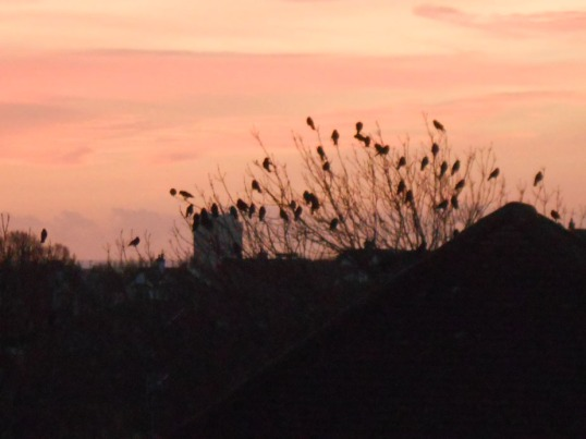 Blackbirds at Dawn