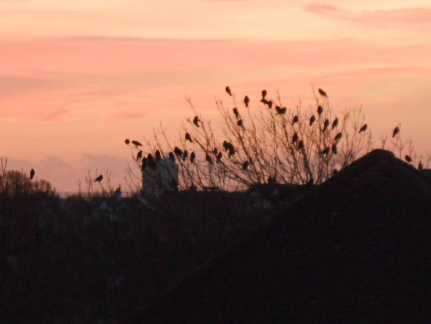 Blackbirds at Dawn