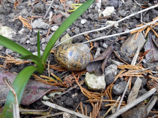 hibernating snail
