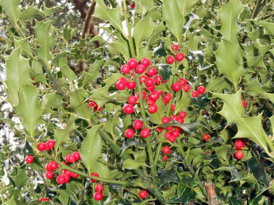 Holly berries February