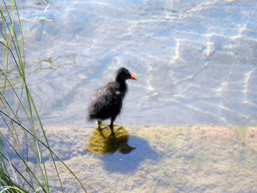 Moorhen Chick #03