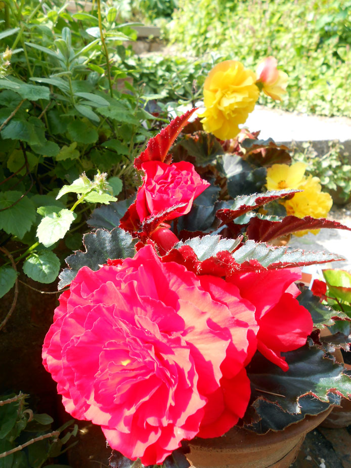 Red and yellow begonias